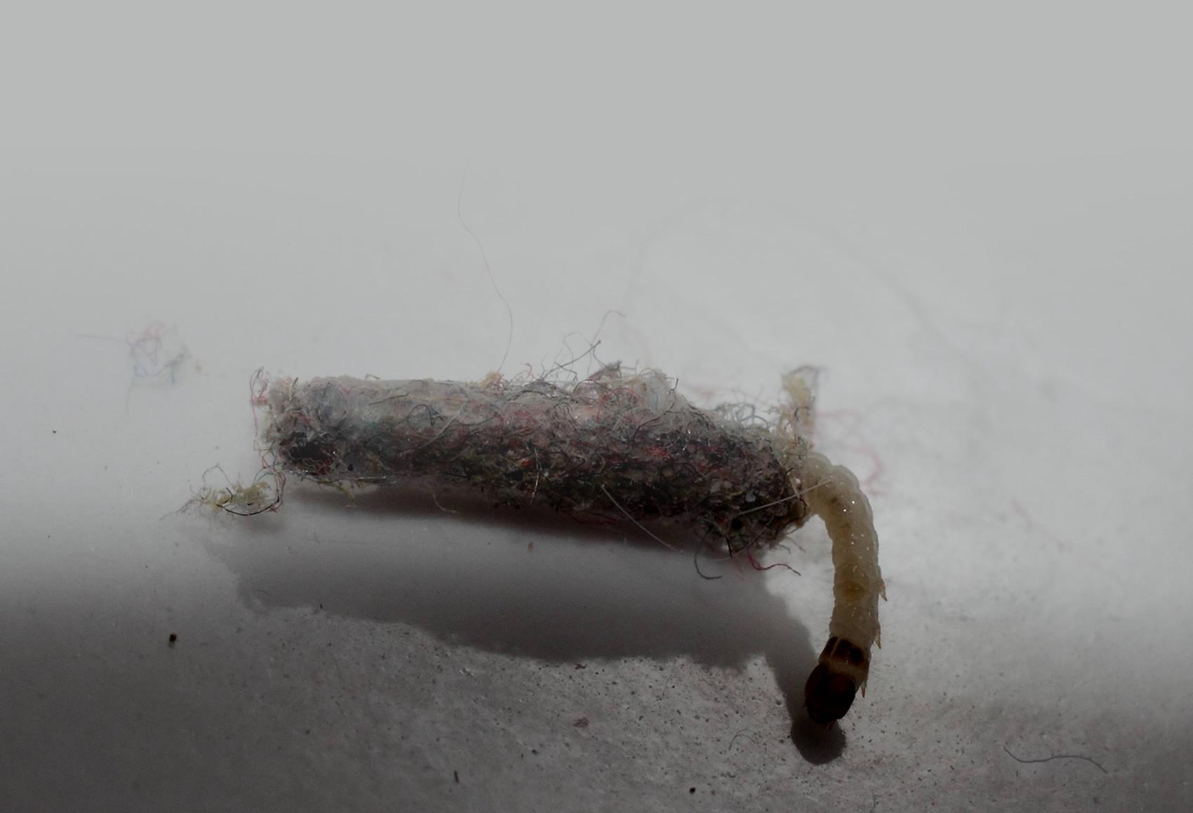 Tinea Pellionella o Tarma delle Pellicce