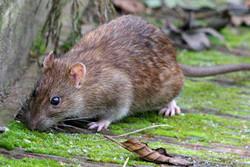 Rattus Norvegicus - ratto di fogna