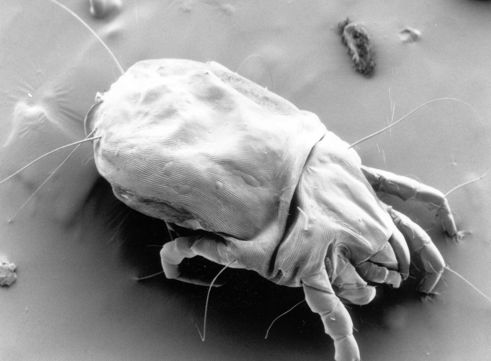 Acaro della polvere
