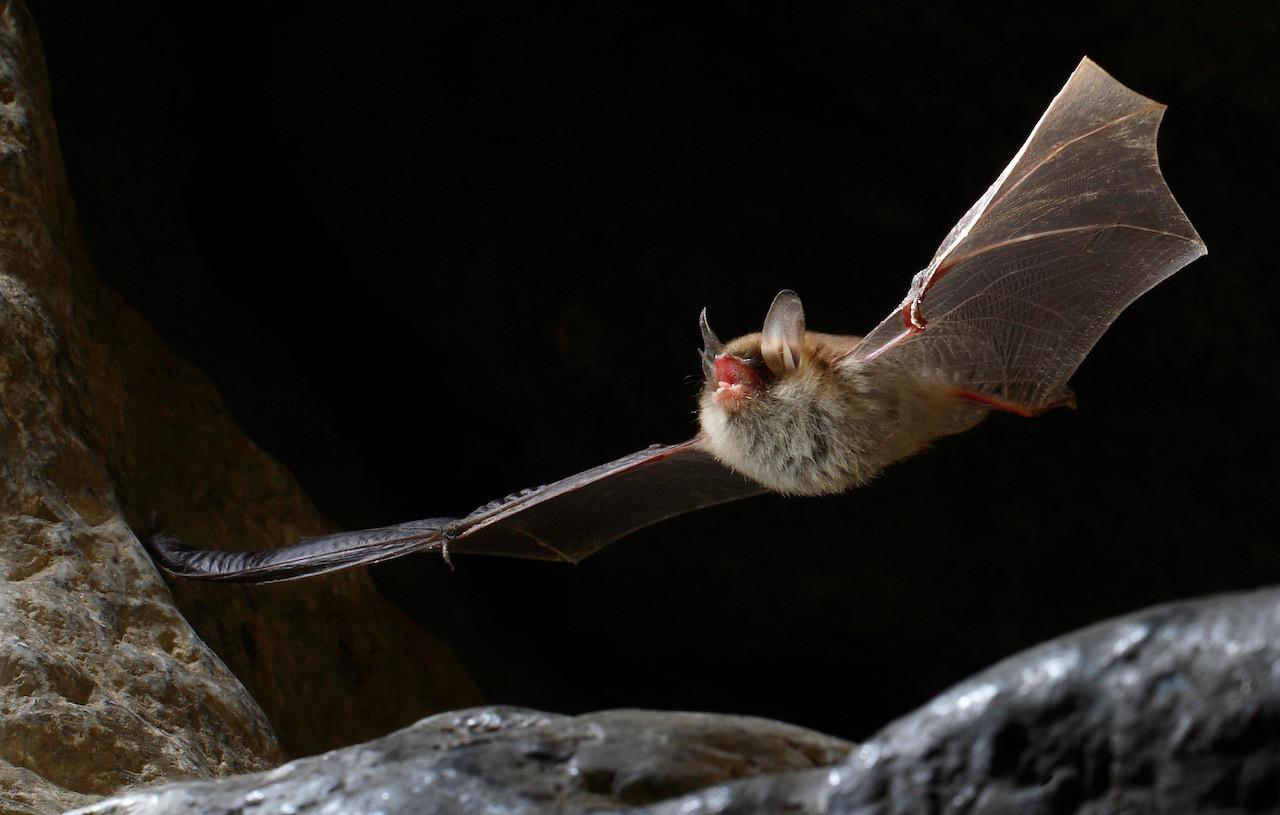 Pipistrelli per il controllo dei parassiti