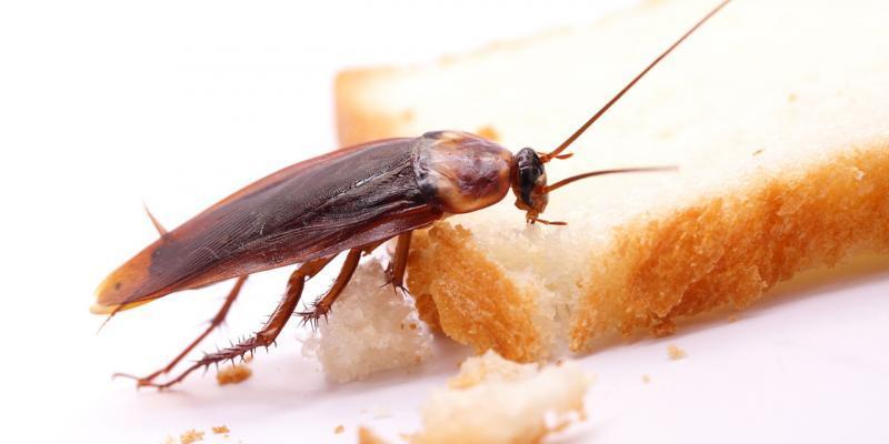 insetti come cibo