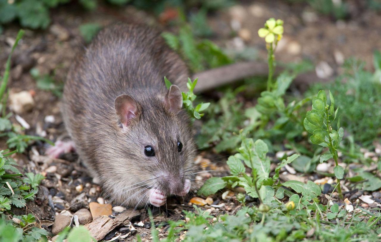 derattizazione topi