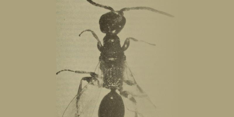 Allepyris Ruficrus