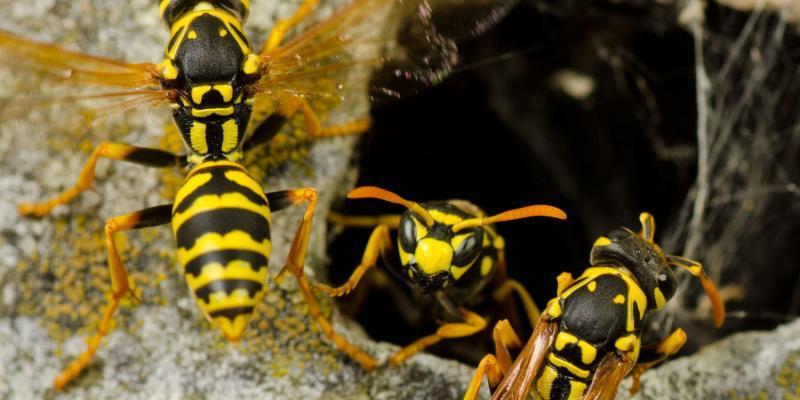 imenotteri vespidi o vespe