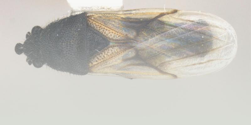 cimice fitofaga