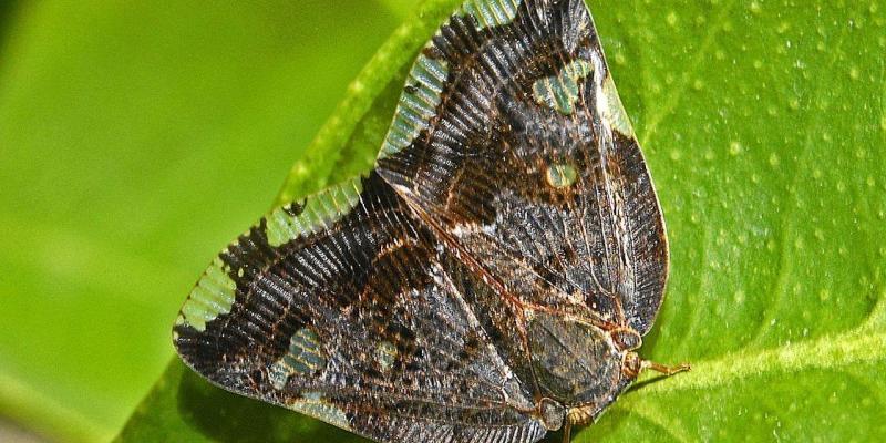 insetti simili a farfalle