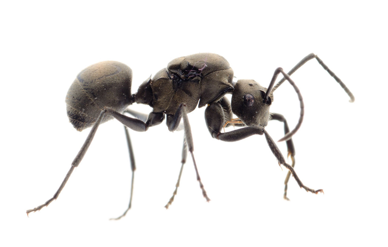 parassita formiche