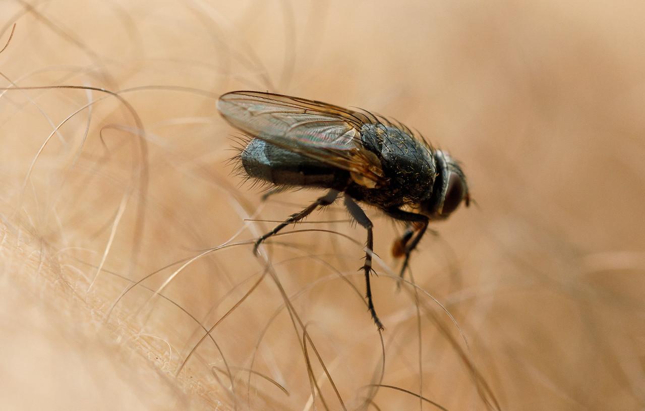 zanzare e mosche in aumento