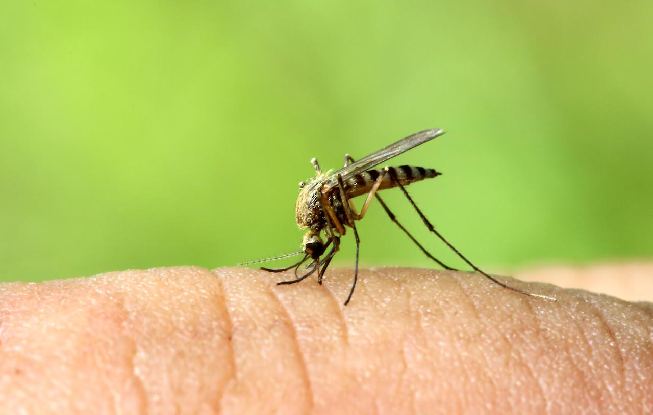 zanzare tropicali