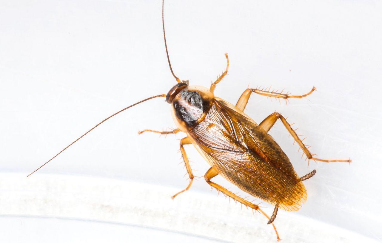 resistenza blatte agli insetticidi