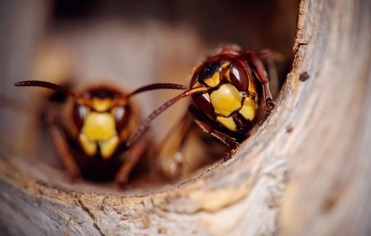 allarme vespe e calabroni