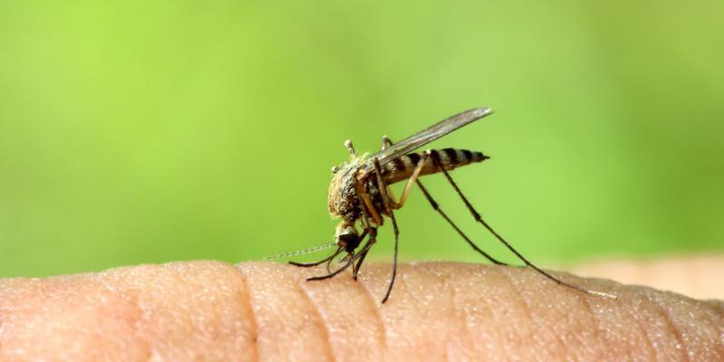 cosa fanno le zanzare col sangue
