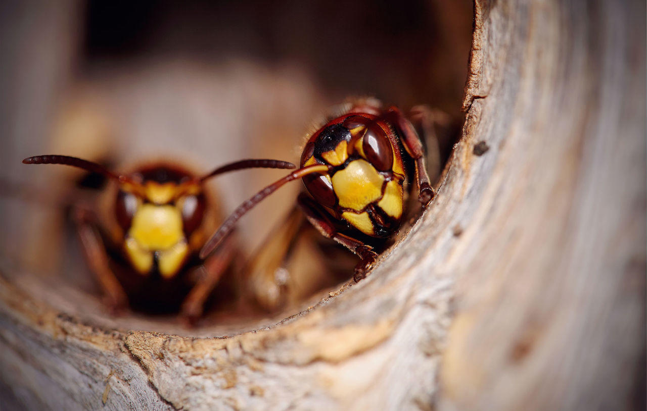 disinfestare nido calabroni