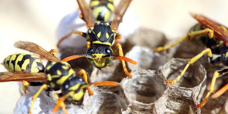 Come si riconoscono le vespe