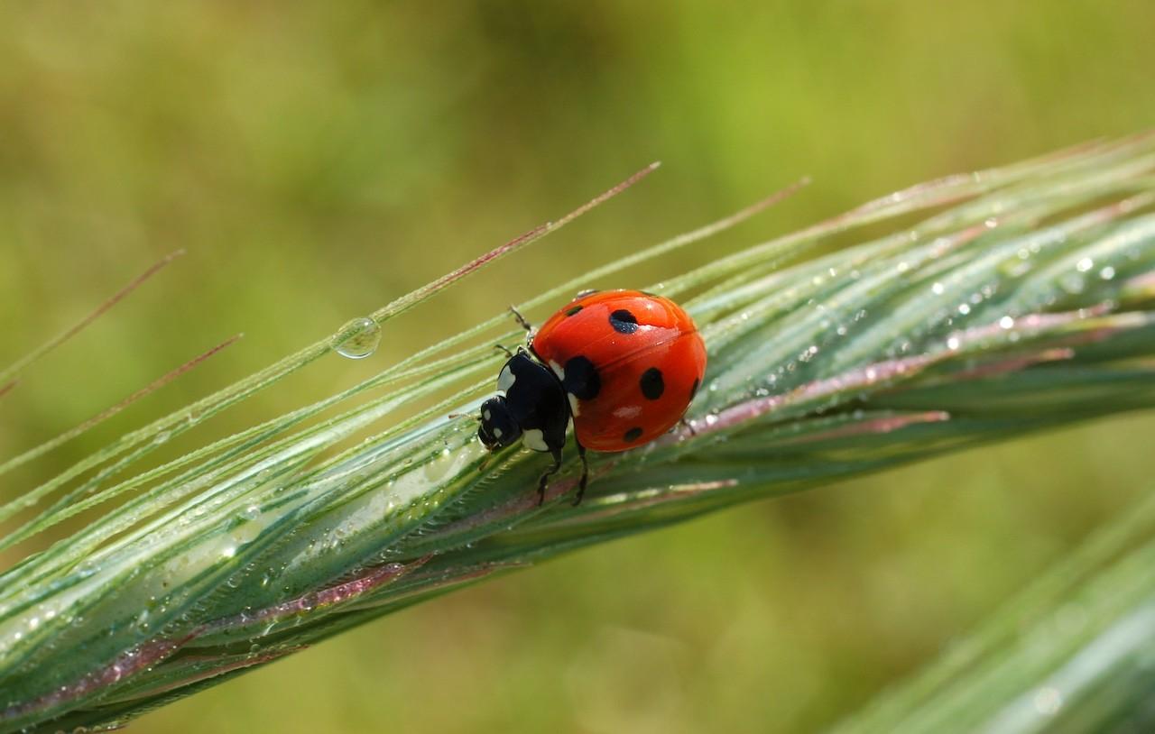 insetti utili lotta biologica