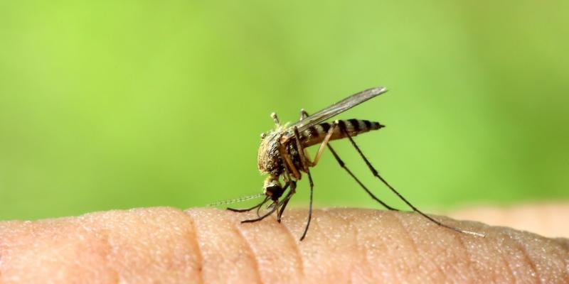 zanzare geneticamente modificate