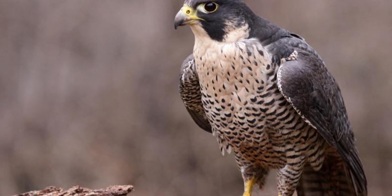 falco pellegrino contro piccioni