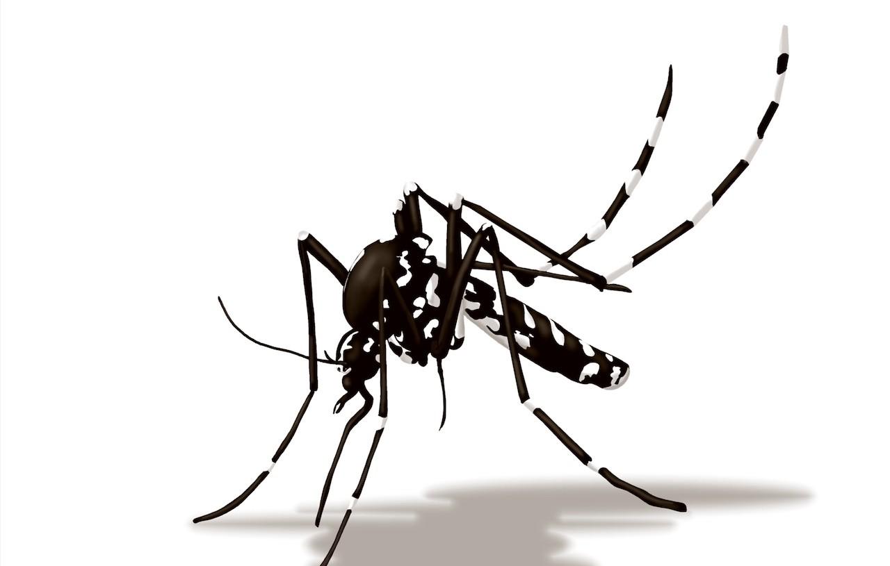 la zanzara tigre non trasmette il coronavirus