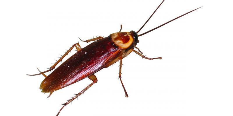 blatte resistenti agli insetticidi