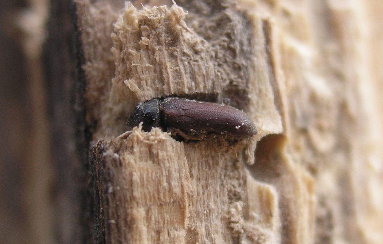 disinfestare da tarli del legno