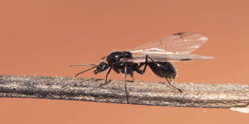 allontanare le formiche alate