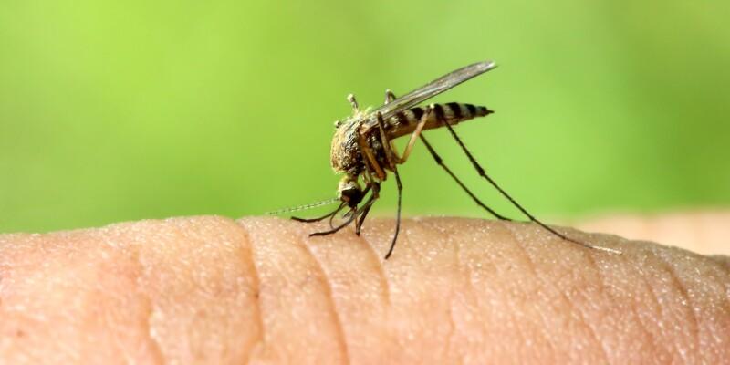 zanzara coreana individuata in Italia
