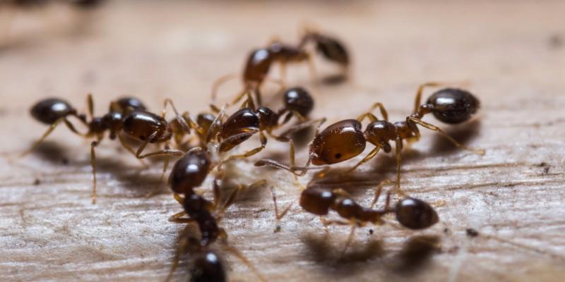 allontanare formiche dalla cucina
